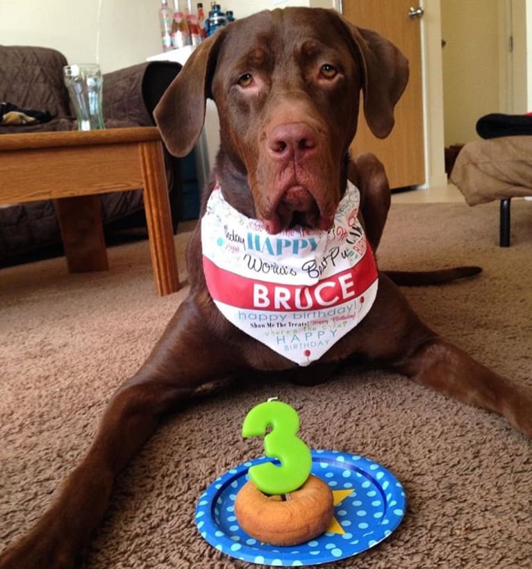 Photo of Bruce, a Labrador Retriever (12.5% unresolved) in Flint, Michigan, USA