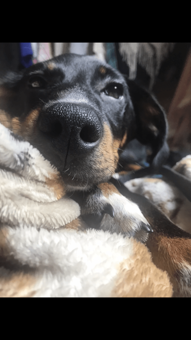 Photo of River, a Beagle, Chihuahua, Border Collie, and Toy Fox Terrier mix in North Carolina, USA