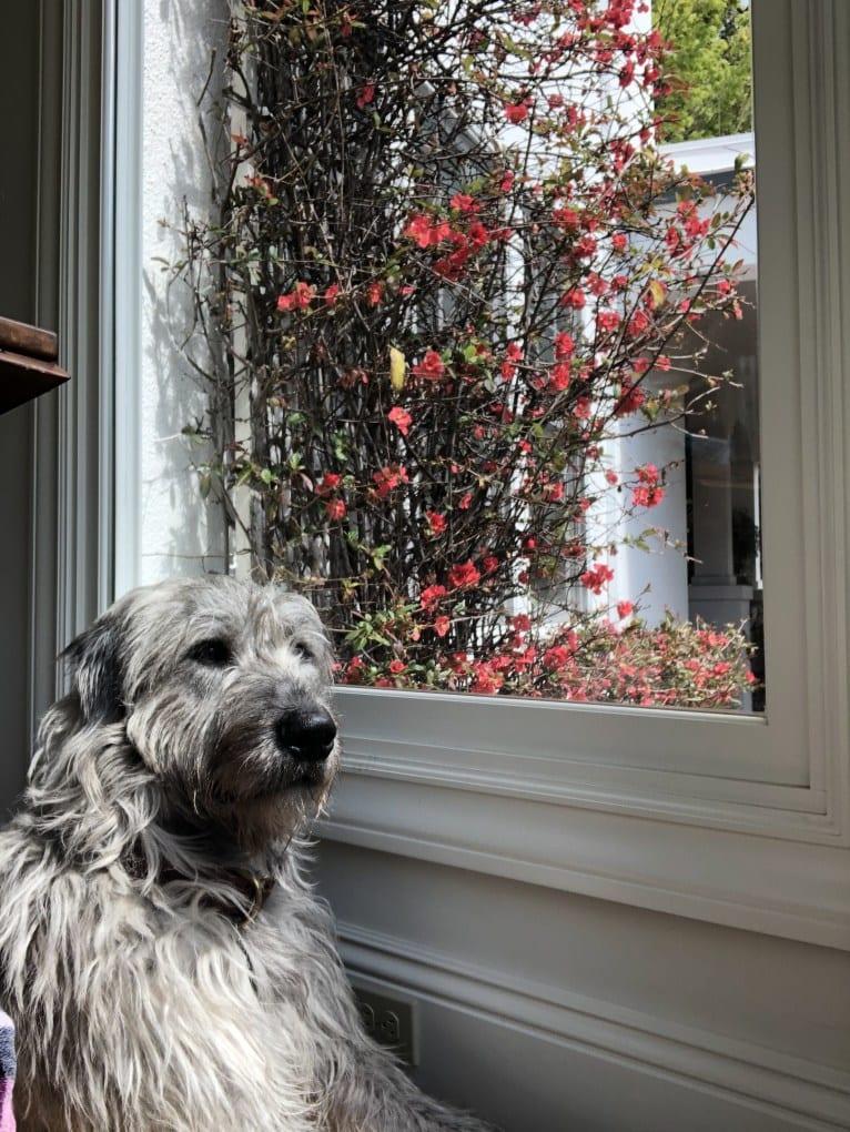 Photo of Winter, an Irish Wolfhound  in Santa Rosa, California, USA