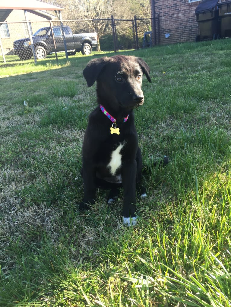 Photo of Layla Suddath, a German Shepherd Dog, Russell-type Terrier, American Staffordshire Terrier, Beagle, Chow Chow, and Mixed mix in Lenoir City, Tennessee, USA