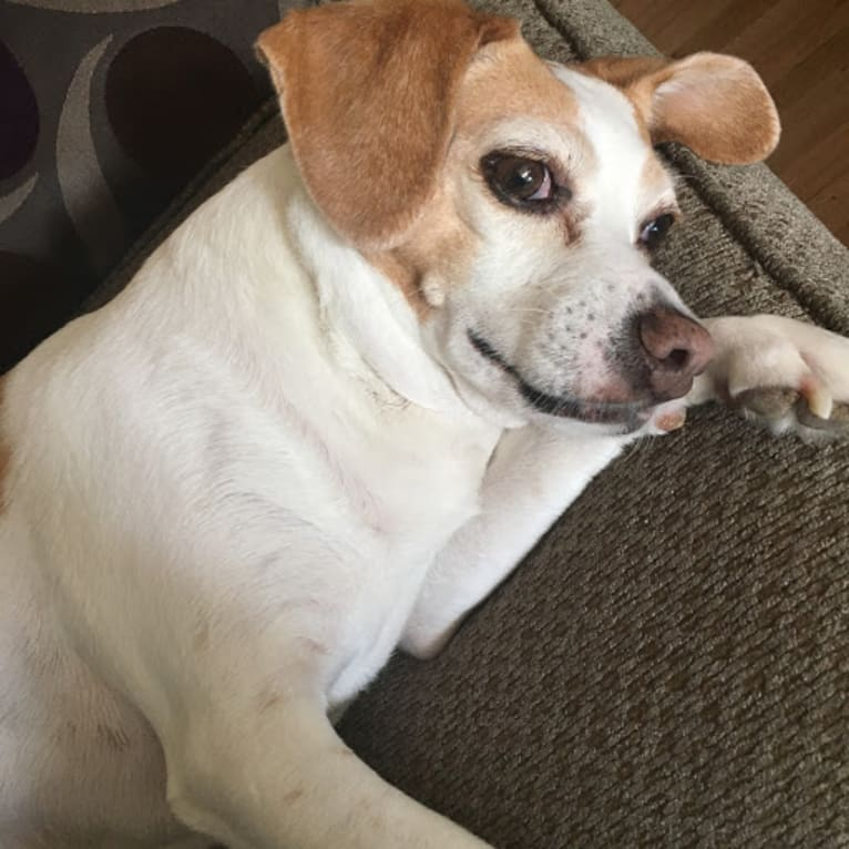 Photo of Maggie, a Beagle, Rat Terrier, and Toy Fox Terrier mix in California, USA