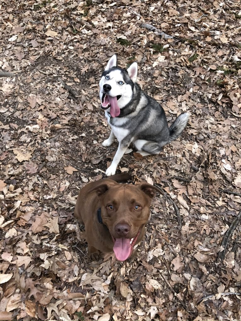 Photo of Jaxon, an American Bulldog, Labrador Retriever, Pointer, and Siberian Husky mix in Mississippi, USA