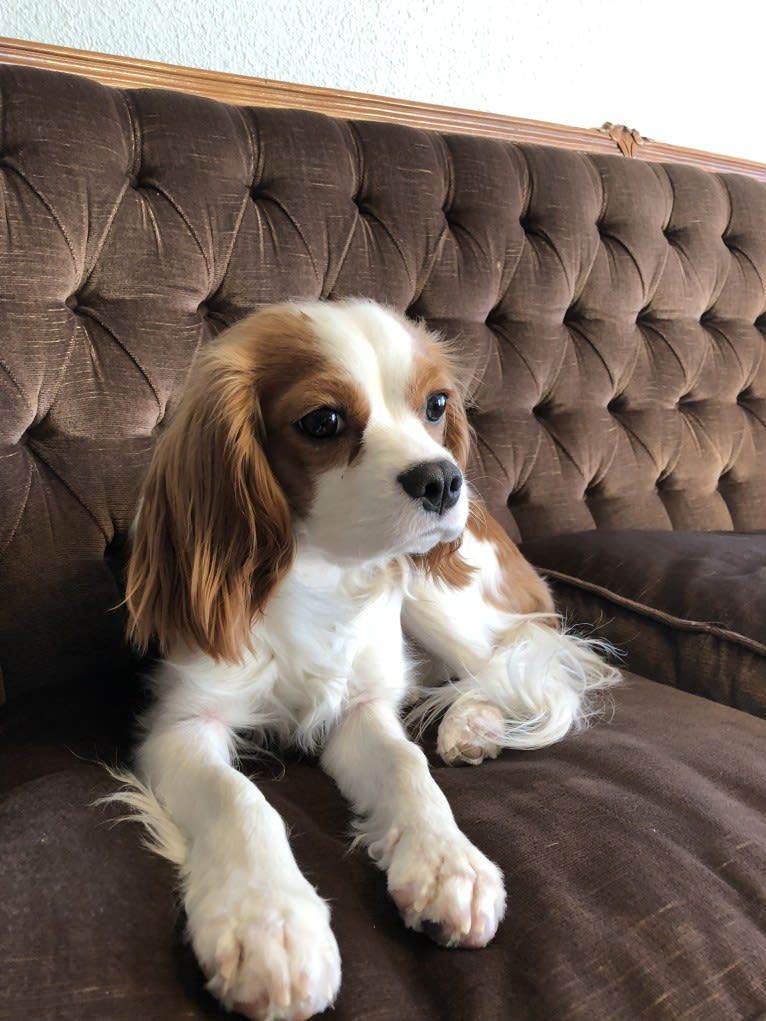 Photo of Momo, a Cavalier King Charles Spaniel