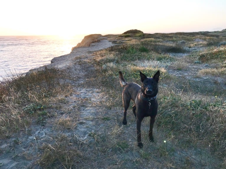 Photo of Shadow, a Belgian Shepherd  in California, USA