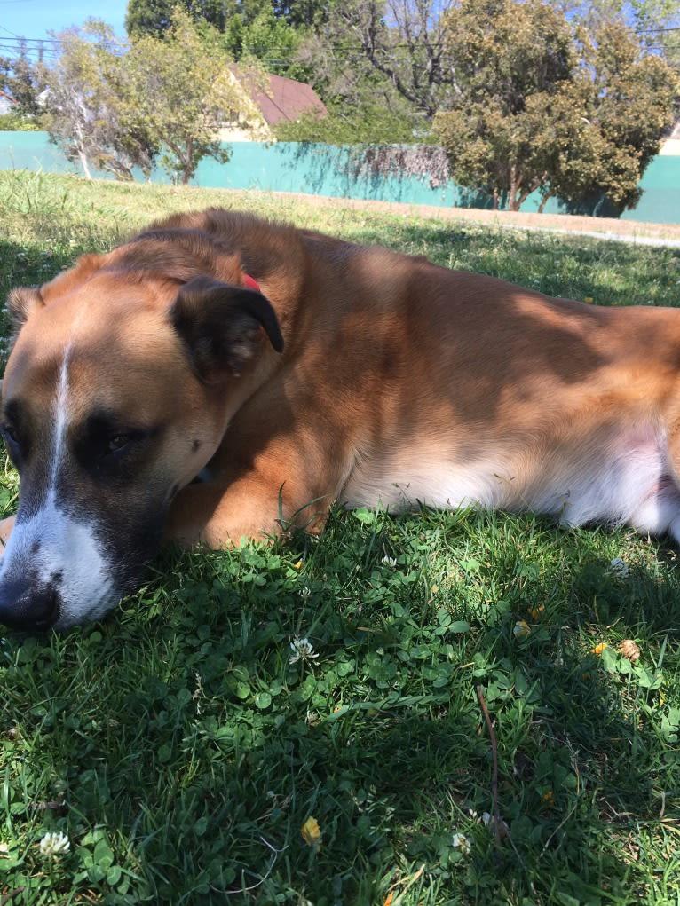 Photo of Cheese, an American Pit Bull Terrier, Rottweiler, Australian Cattle Dog, German Shepherd Dog, and Mixed mix in Flagstaff, AZ, USA