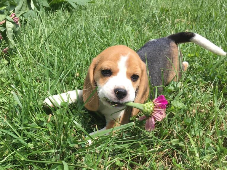 Photo of Jewel, a Beagle