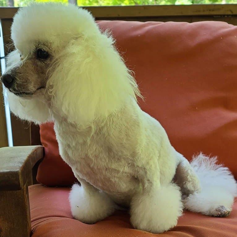 Photo of Lilo, a Poodle (Small)  in Buckhead, Atlanta, GA, USA