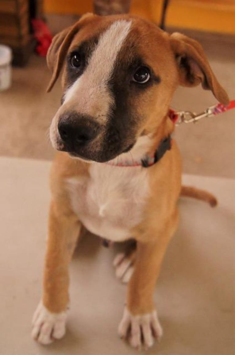Photo of Dougie, an American Pit Bull Terrier, Boxer, German Shepherd Dog, and Mixed mix in Baja California Sur, Mexico