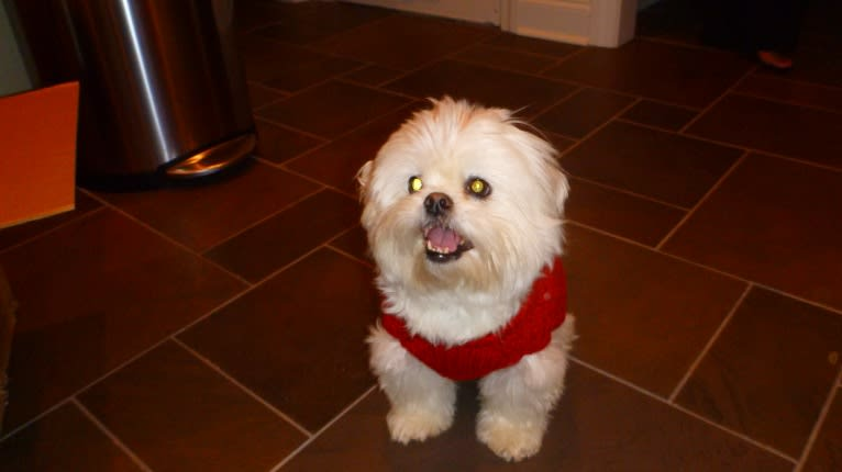 "Photo of Reginald Wilson ""Reggie"", a Maltese and Pekingese mix in Atlanta, Georgia, USA"