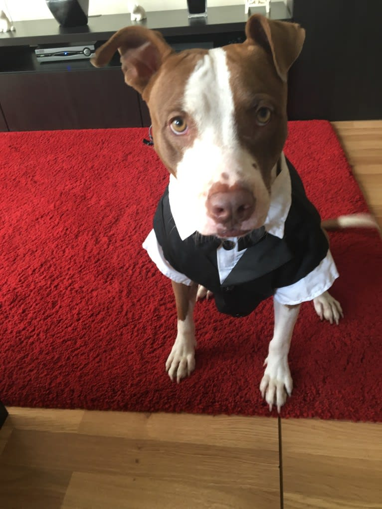 Photo of Ollie, a Staffordshire Terrier  in Dubai, Dubai, United Arab Emirates