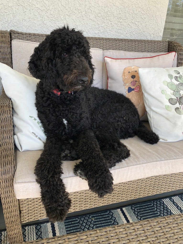 Photo of Gatsby, a Poodle (Standard)  in Tampa, FL, USA