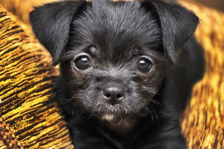 Photo of Tooter Bean, a Chihuahua, Poodle (Small), Pug, and Portuguese Podengo mix in Columbia, SC, USA