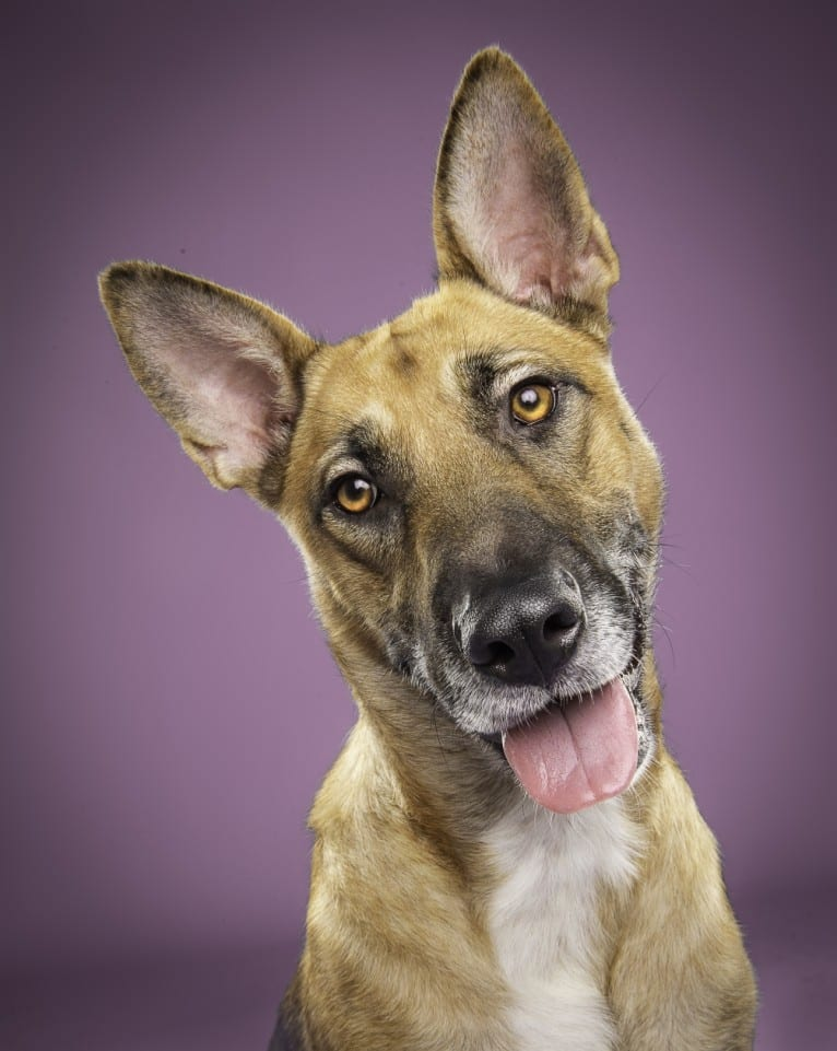 Photo of Kya, a German Shepherd Dog, American Pit Bull Terrier, and Australian Cattle Dog mix in Brownfield, TX, USA