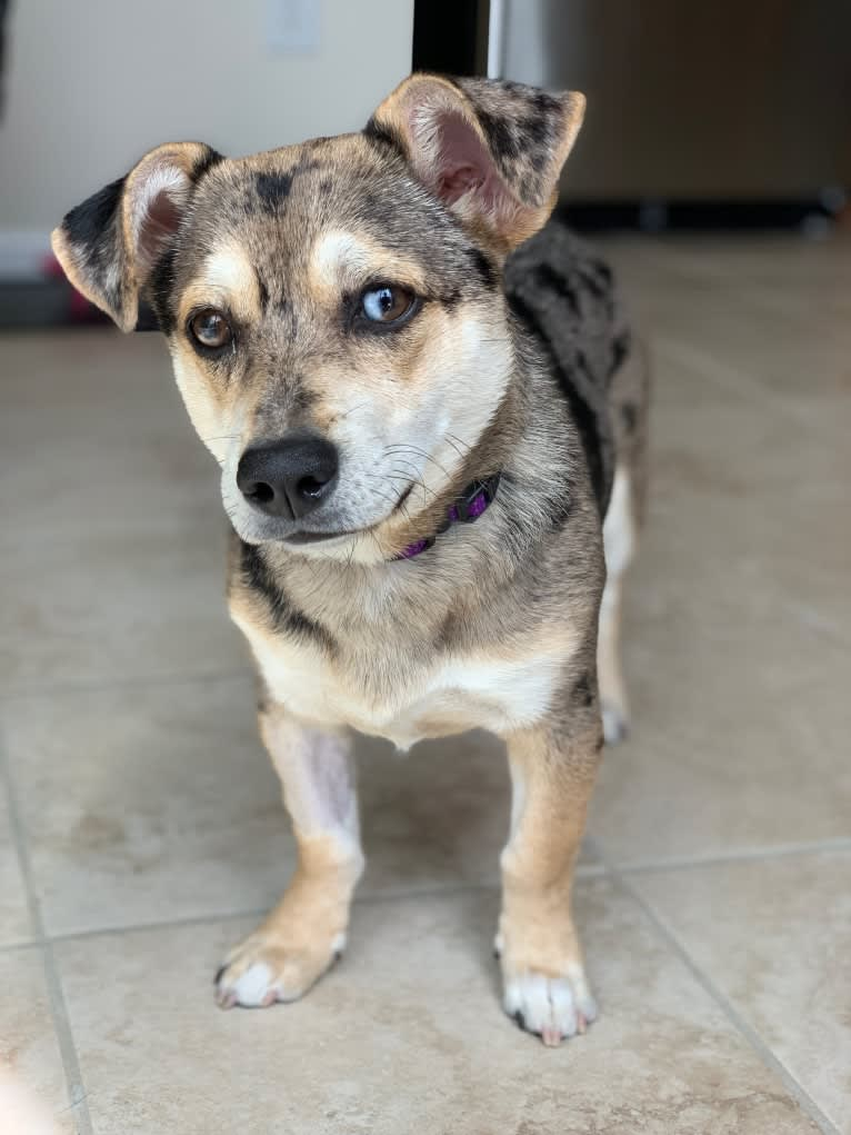 Photo of Kira, a Russell-type Terrier, German Shepherd Dog, American Eskimo Dog, Basset Hound, Beagle, Labrador Retriever, and Mixed mix in Pennsylvania, USA