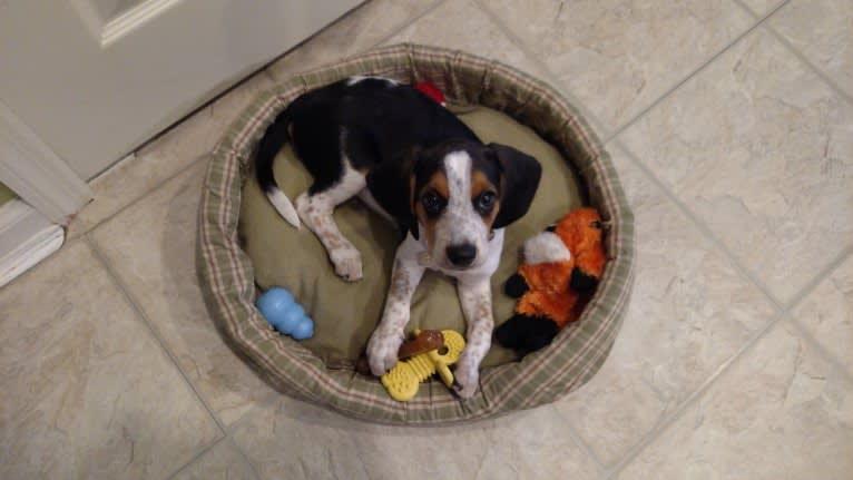Photo of Otis, a Beagle  in Cincinnati, Ohio, USA