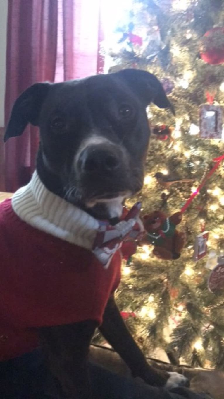 Photo of Memphis Thomas, an American Pit Bull Terrier, Boxer, Bulldog, and Rottweiler mix in Darlington, SC, USA