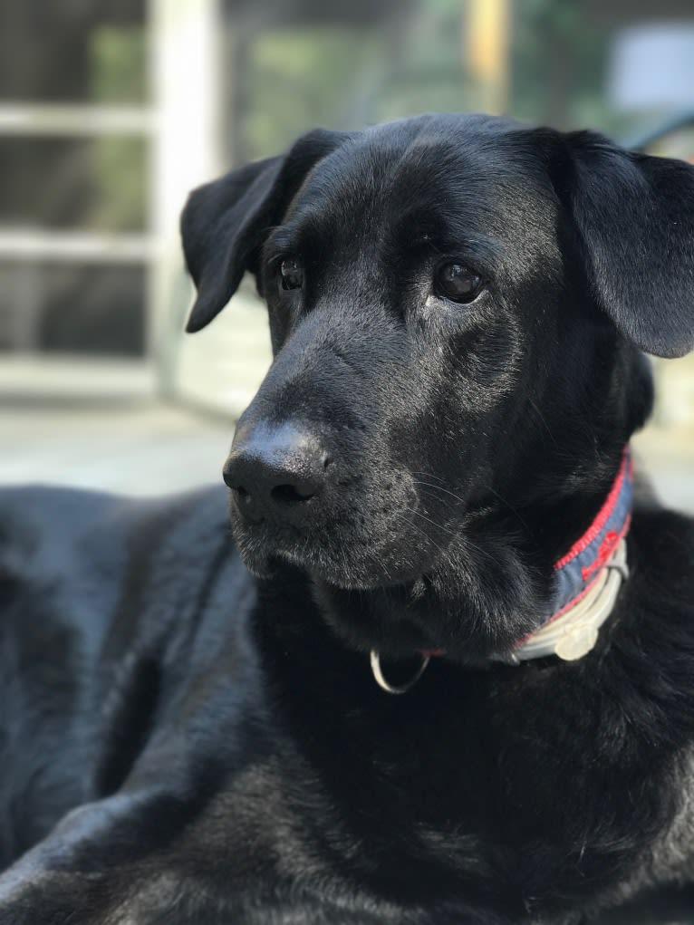 Photo of Bear, a Labrador Retriever, German Shepherd Dog, Chow Chow, and Siberian Husky mix