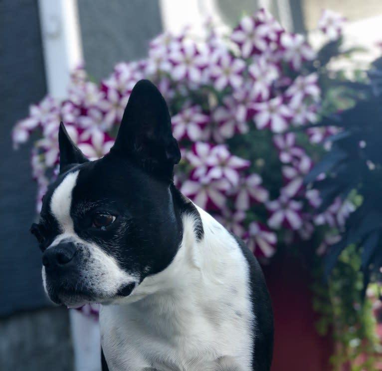 Photo of Chloe, a Boston Terrier