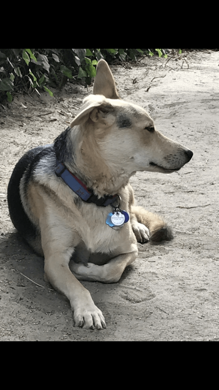 Photo of Indy, a German Shepherd Dog, Chow Chow, Akita, Russell-type Terrier, American Pit Bull Terrier, and Mixed mix in Ensenada, Baja California, Mexico