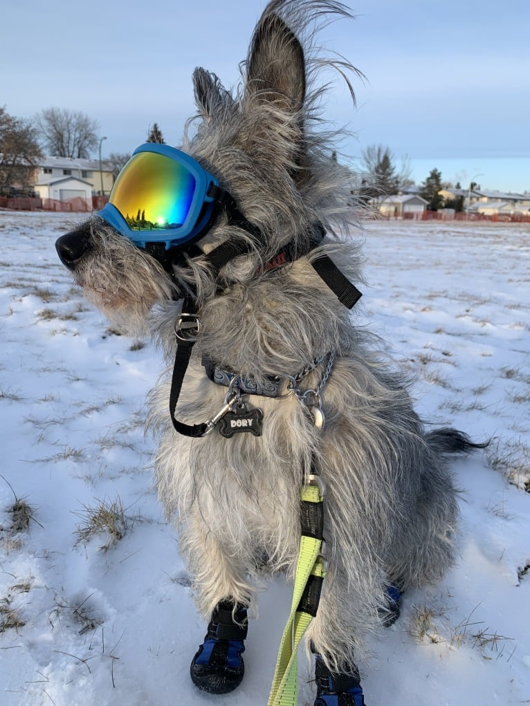 Photo of Dory, a Siberian Husky, Poodle (Small), Alaskan Malamute, and Mixed mix in Gillam, Manitoba, Canada