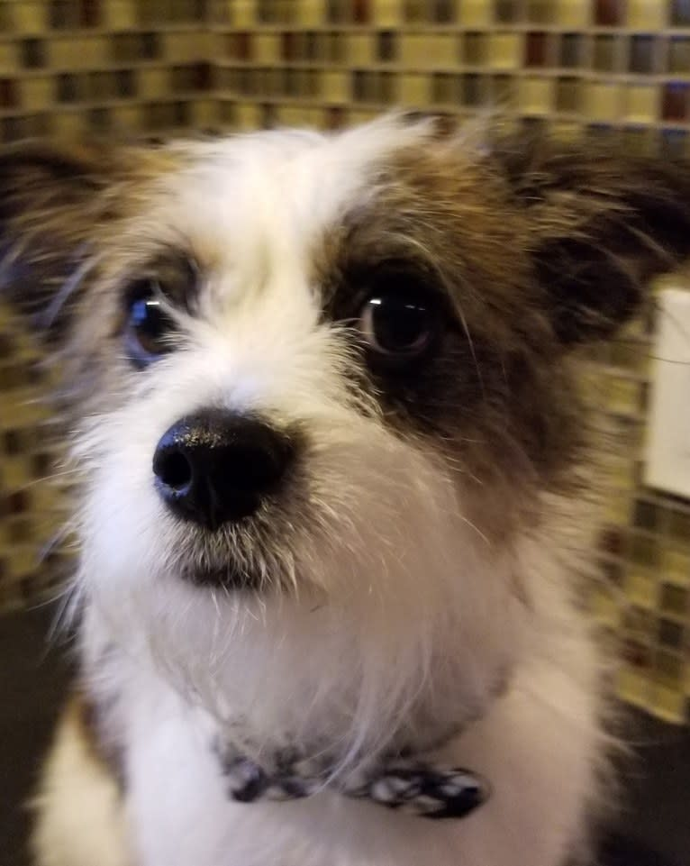 Photo of Pippin, a French Bulldog, West Highland White Terrier, Yorkshire Terrier, Poodle (Small), and Chihuahua mix in Kentucky, USA