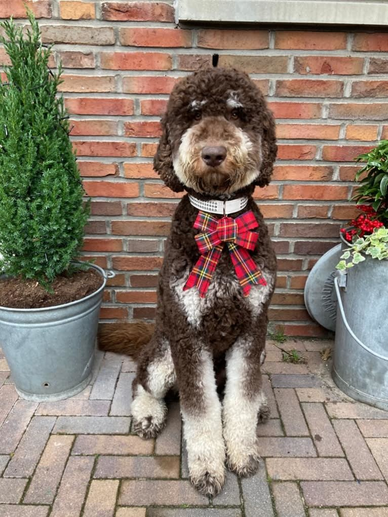 Photo of Gideon, a Poodle (Standard)  in Polen