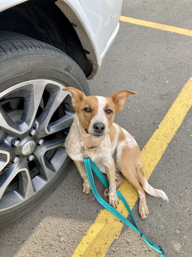 Photo of Gabby, an Australian Cattle Dog, American Pit Bull Terrier, English Springer Spaniel, and Mixed mix in Bismarck, North Dakota, USA