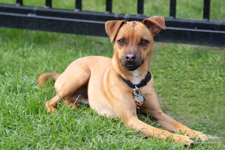 Photo of Jacob, a Russell-type Terrier, Pug, and Miniature Pinscher mix in St Clairsville, Ohio, USA