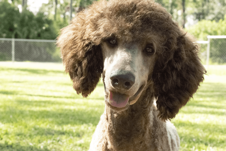 Photo of Bomb, a Poodle (Standard)  in St. Petersburg, FL, USA