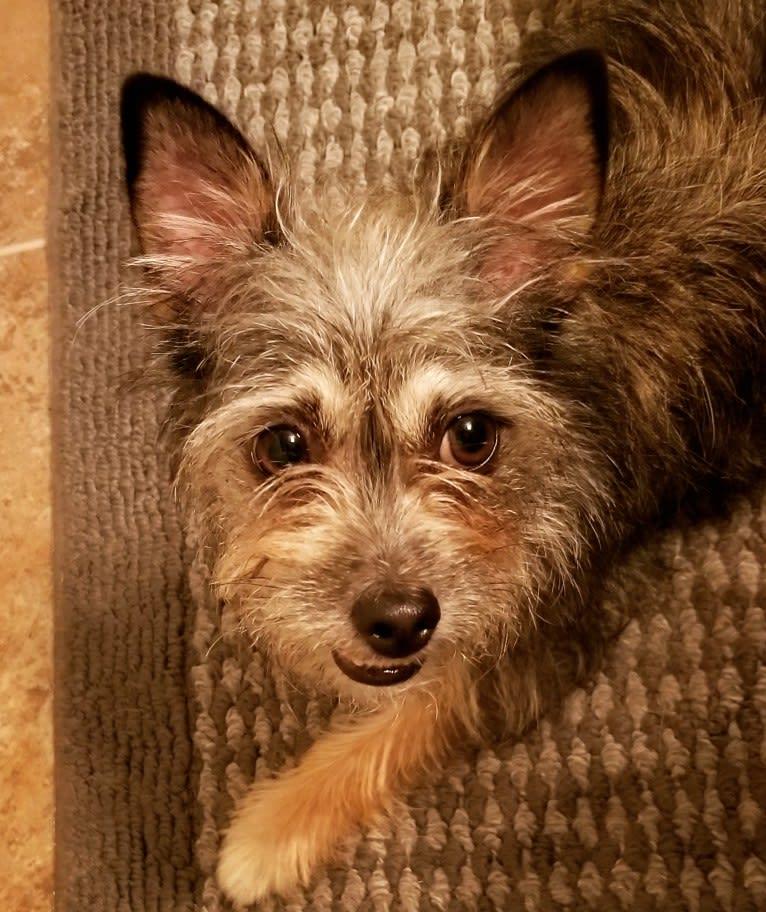 Photo of Einstein, a Chihuahua, Shih Tzu, Maltese, and Mixed mix in San Antonio, Texas, USA