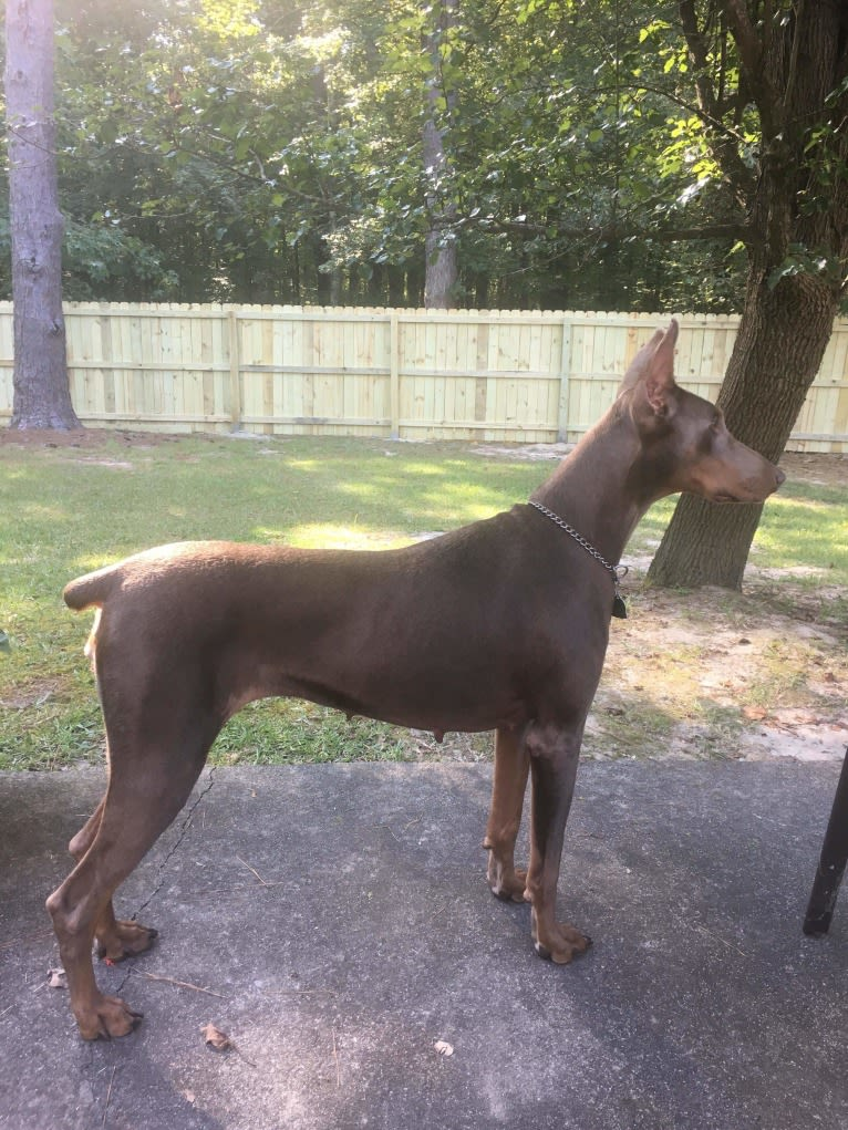 Photo of LOVELY LADY ISABELLA, a Doberman Pinscher  in Georgia, USA