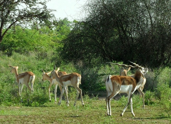 The Black Buck Beliefs of Bishnoi Nature Worshipers of India -
