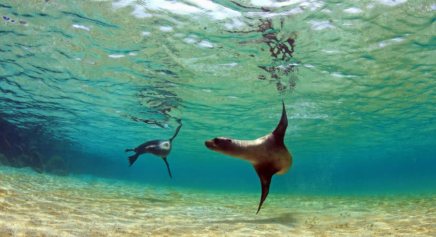 Sea lion swimming underwater in tidal lagoon in the Galapagos Islands
