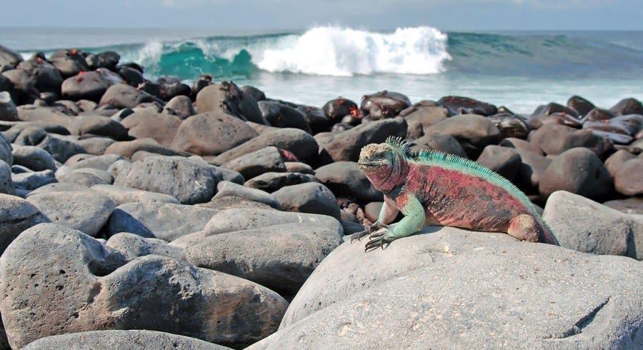 Galapagos Naturreise: Iguana