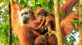 Reiseziel Tangkahan Indonesien