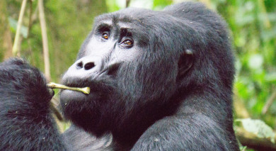 Empfohlene Individualreise, Rundreise: Ostafrika Safari – Gorilla Trekking in Uganda & Big 5 in Kenia und Tansania