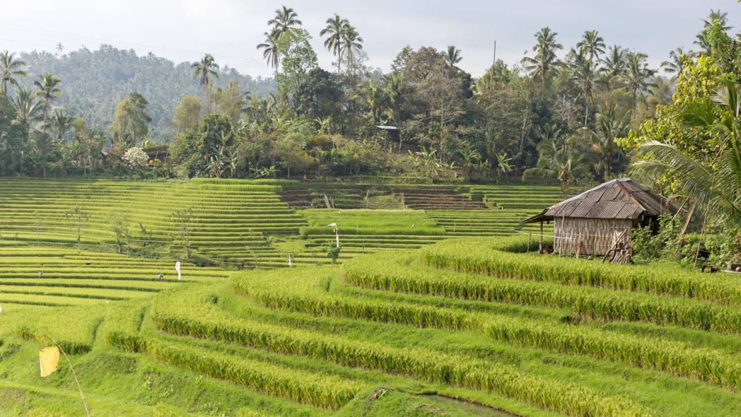 rice terraces ubud