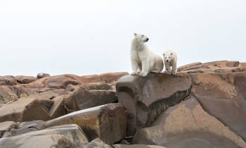 Polar Bears Summer Arctic Adventure Cr Destination Canada