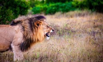 a lion in a grassy field
