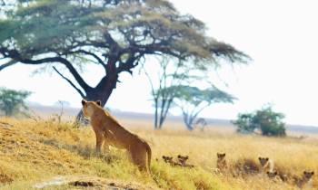 a herd of giraffe standing on top of a dry grass field