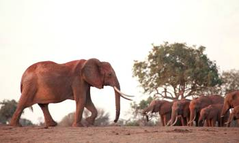 a large brown elephant standing in the dirt