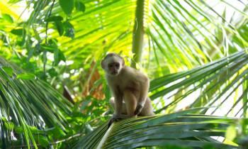 Capuchin Monkey Trinidad