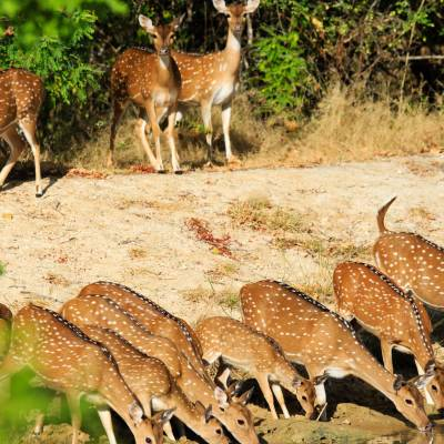 Deer in Yala