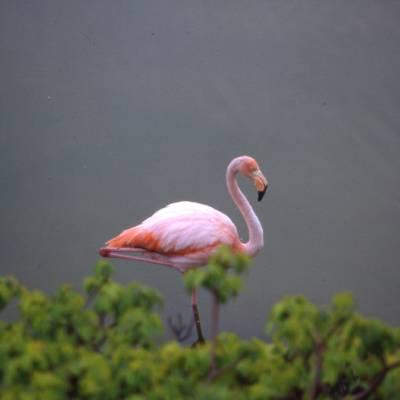 Flamingo in the Galapagos Islands