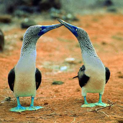 Blue-footed boobies