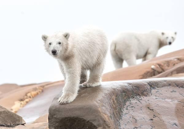 a polar bear looking at the camera