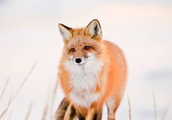 Red Fox, Arctic Fox, Churchill, Manitoba