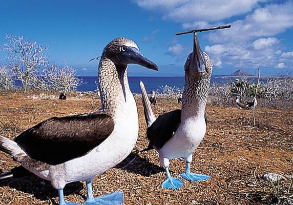 Blue footed boobies on the Galapagos Islands
