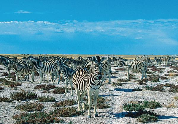 Zebra in the Etosha National Park