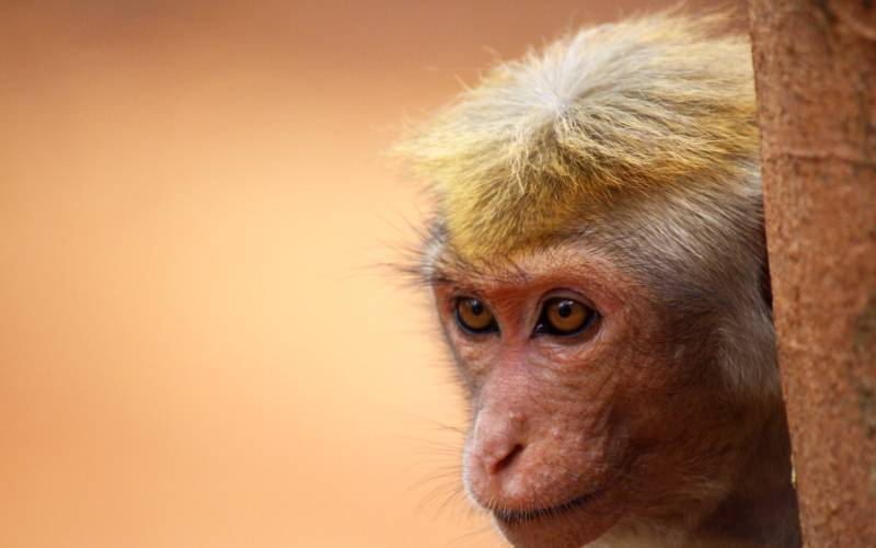 The toque macaque